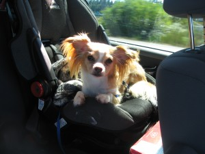 Here is Kujo in the van with us on the way to Stew's retirement party